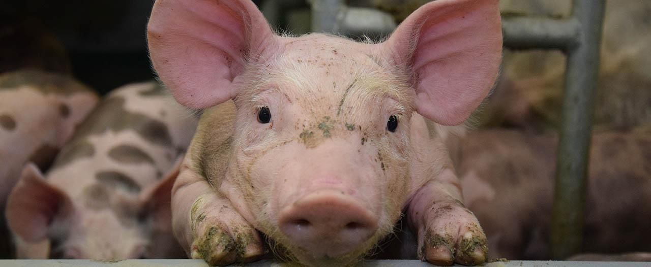 Platzbedarf Mastschweine